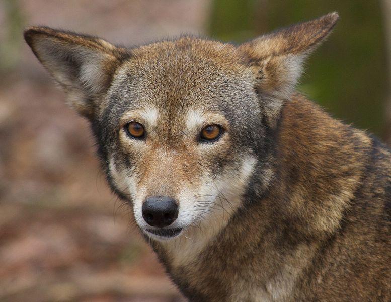 So wolf. Much endangered. Plz save.