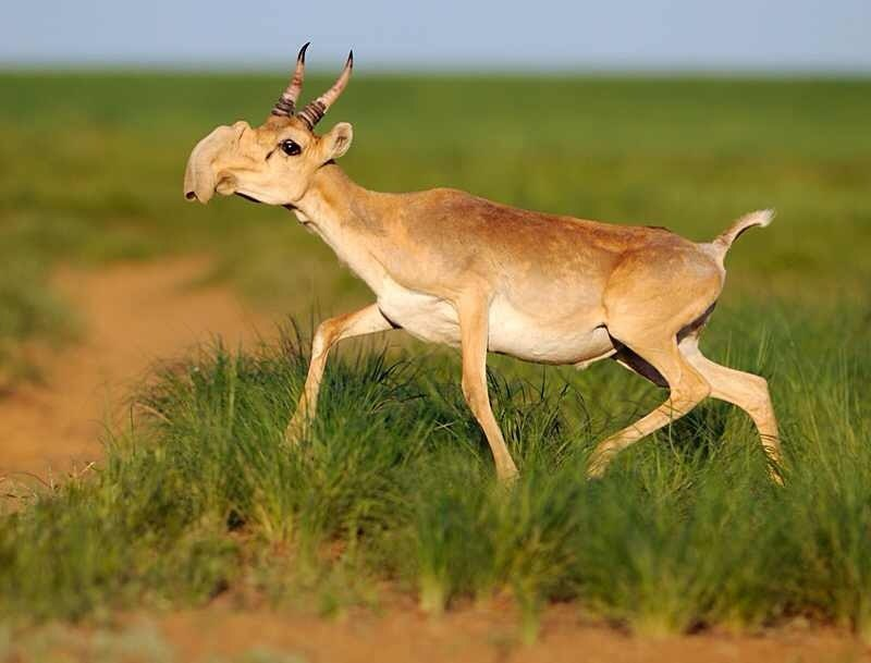 Scientists still aren't sure what caused a mass die-off of these other-worldly looking Saiga antelope